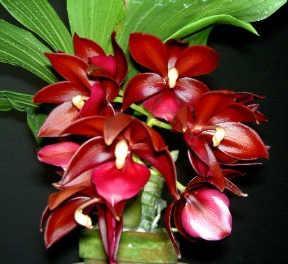 Cycnodes Wine Delight 'JEM' FCC/AOS - Cycnodes Orchidee